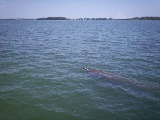 Manatee in Intracoastal