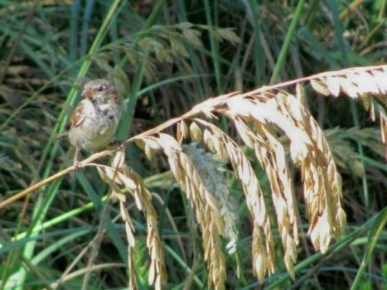 Sparrow in sea oats
