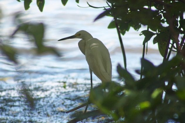 Snowy egret in mangroves