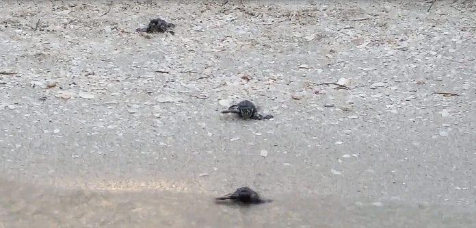 Loggerhead sea turtle hatchlings
