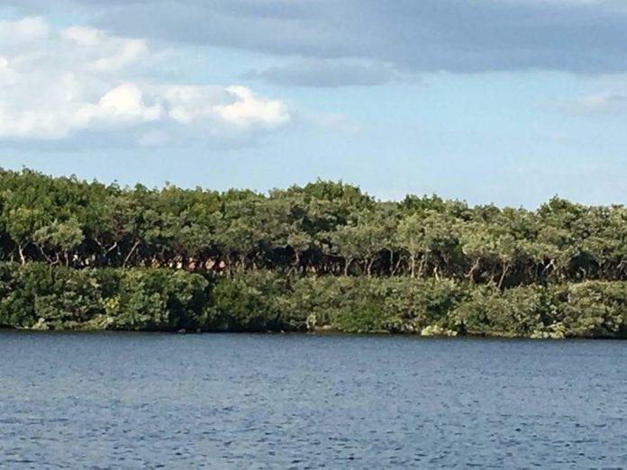 Long Bar Point mangroves