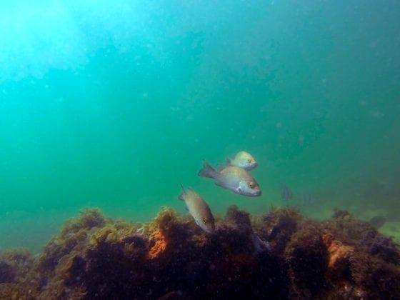AMI reef