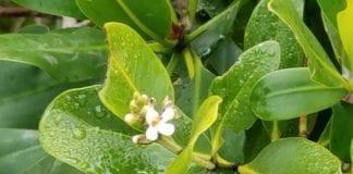 Mangrove flower
