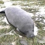 Manatee grounded by Irma