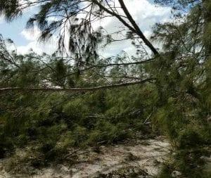 Trees post-Irma