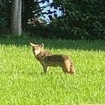Holmes Beach Coyote