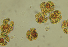 Red tide cells