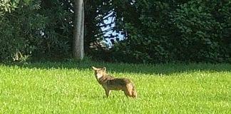 Holmes Beach coyotes Wooten
