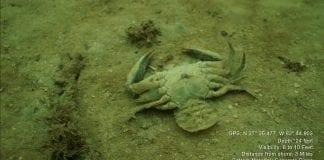 red tide diver crab