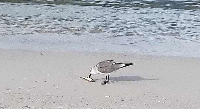 Red tide seagull