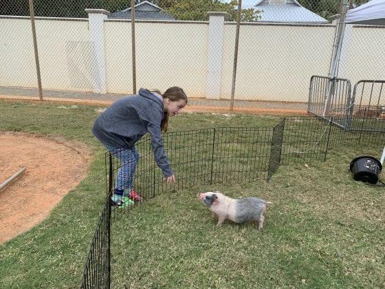 lester day pig
