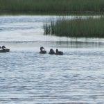 Ducks at Perico Preserve