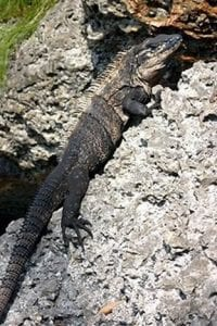 Leffis lizard to be relocated