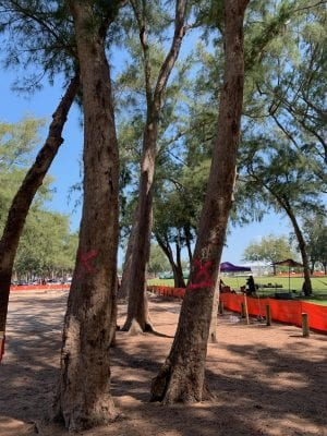 County's plan to remove Coquina Beach trees meets opposition