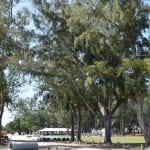 County Commission authorizes removal of six Australian pines