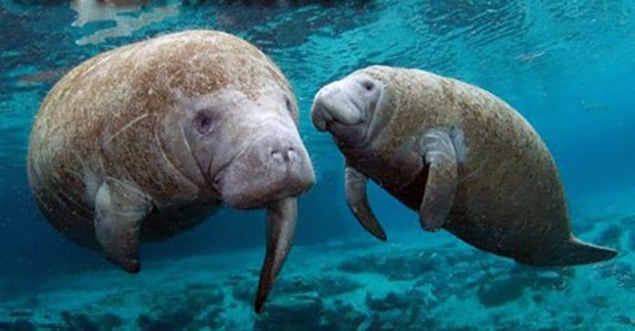 Florida manatee boating deaths rise   AMI Sun