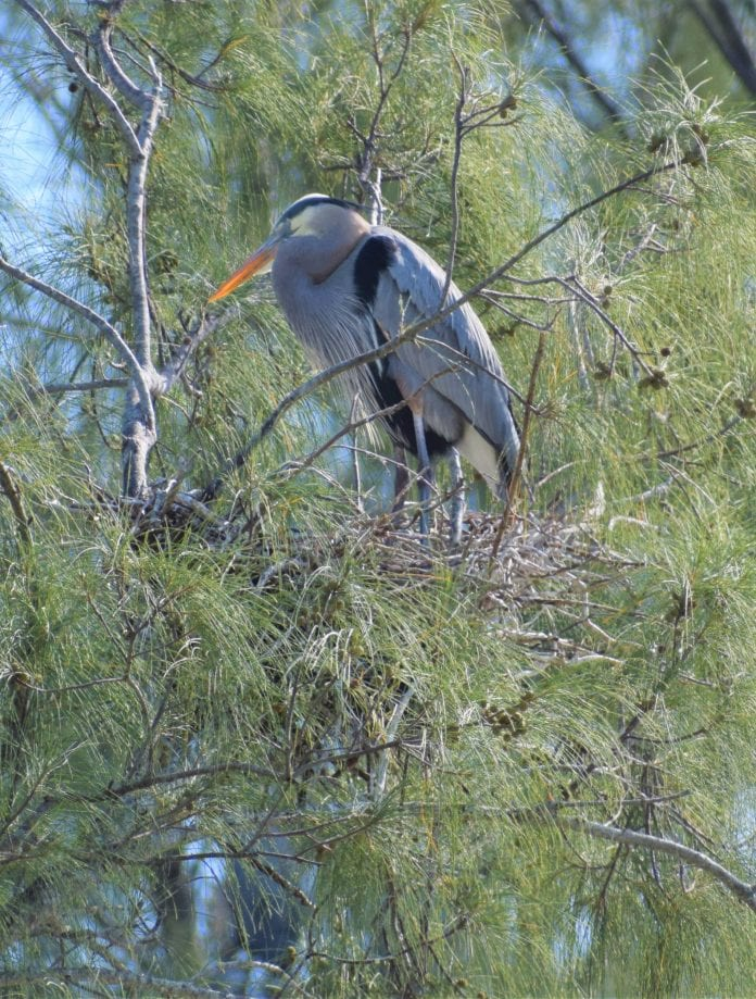 Heron nest halts construction
